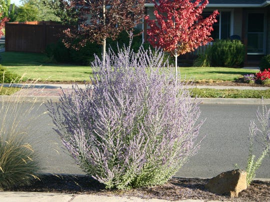 The lavender blooms of low-water Russian sage make great candidates for cut flower arrangements.