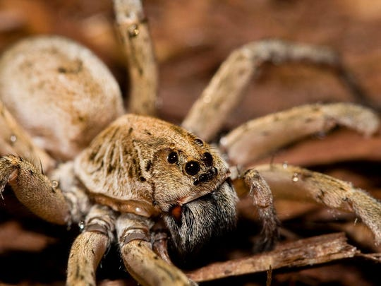 Above, with eyes located in the back of its head, this wolf spider is able to see behind itself.