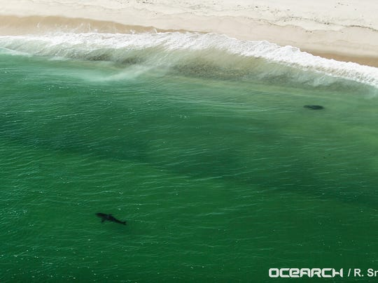An aerial shot of Katharine the great white shark off the coast of Cape Cod, Mass. Researchers from OCEARCH caught and tagged Katharine on Aug. 19, 2013. She has been spotted this week off the Treasure Coast.