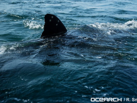 Researchers from OCEARCH catch and tag Katharine the great white shark Aug. 19, 2013, off the coast of Cape Cod, Mass. Katharine had a busy 2018, surfacing several times from Kitty Hawk, North Carolina, to Port Salerno. On Jan. 14, she pinged offshore of Daytona Beach.