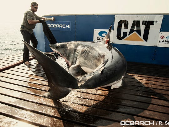 Researchers from OCEARCH catch and tag Katharine the great white shark on Aug. 19, 2013, off the coast of Cape Cod, Mass. Katharine has been spotted this week off the Treasure Coast.