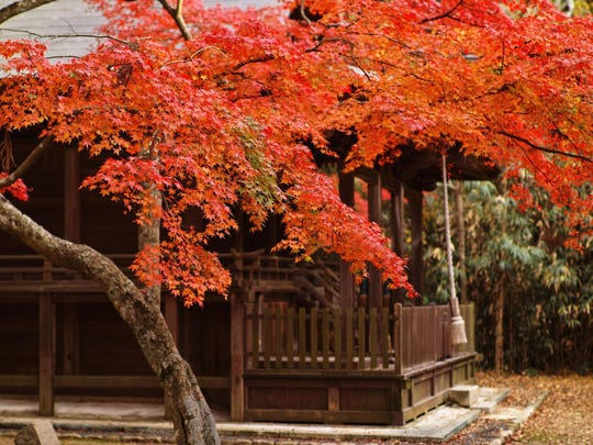 With interesting form, noteworthy foliage and fiery fall color, Japanese maple can play a major role in small gardens.