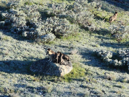 Pups of the 8 mile wolf pack were photographed in June 2013. Other wolves are the biggest natural threat to the pups.