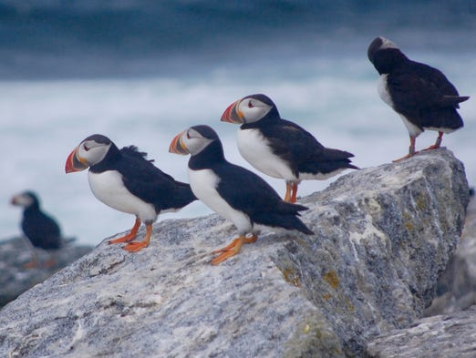 A colony of about 150 breeding Atlantic puffins, nicknamed