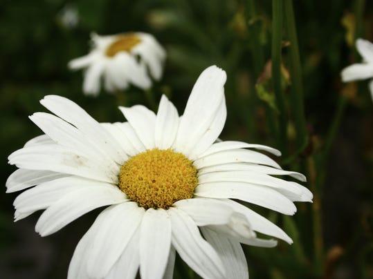 Shasta daisy group