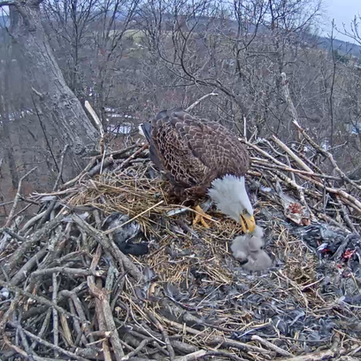 A parent eagle feeds its offspring in the nest near