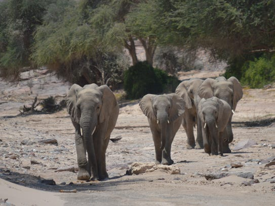 About 35 desert elephants live in the Torra Conservancy