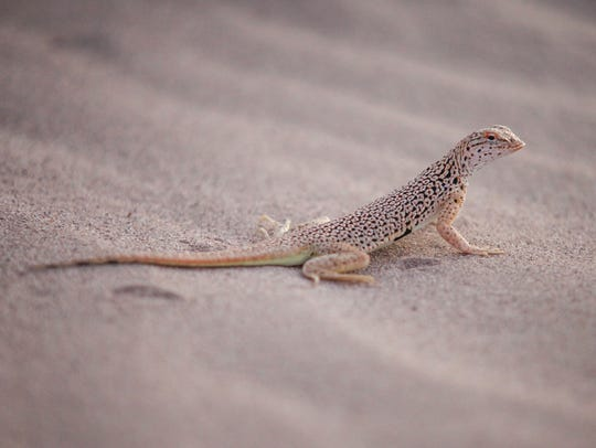 A fringe-toed lizard on the sand dunes at the Cadiz Dunes Wilderness, in the Mojave Trails National Monument.