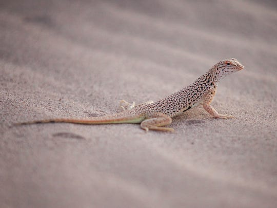 A fringe-toed lizard on the sand dunes at the Cadiz Dunes Wilderness in San Bernardino County, California.