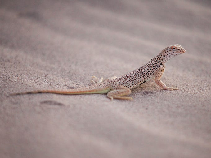A fringe-toed lizard on the sand dunes at the Cadiz
