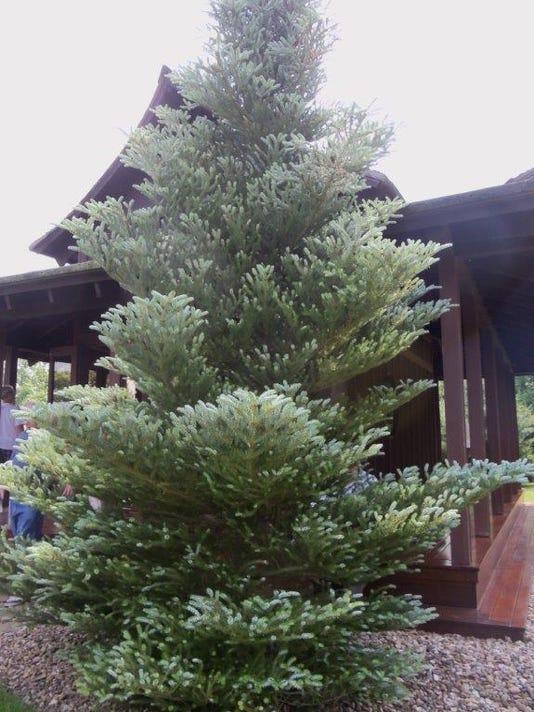 OverGardenFence-Korean fir.jpg