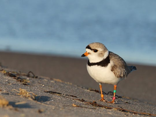 Great Lakes piping plover on the shores of North Manitou