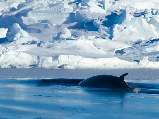 A fin whale surfaces near Antarctica. The mission will