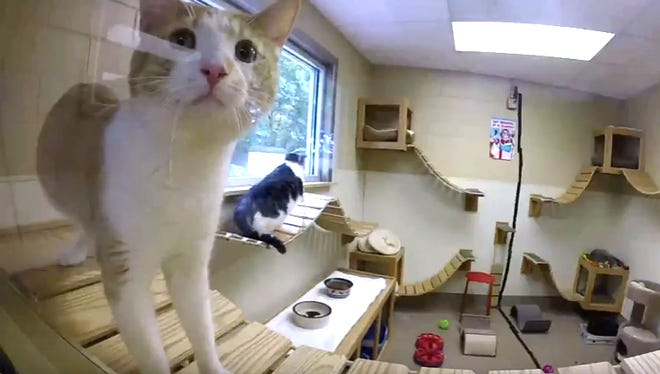 Purrcy the cat checks out the cat cam outside the Community Cat Room at the Humane Society of Lebanon County.