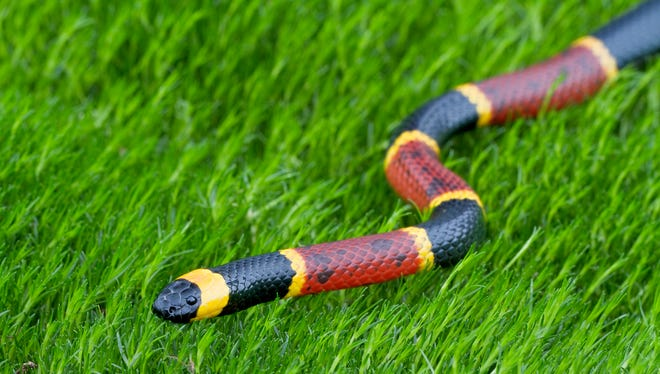 An example of an eastern coral snake.