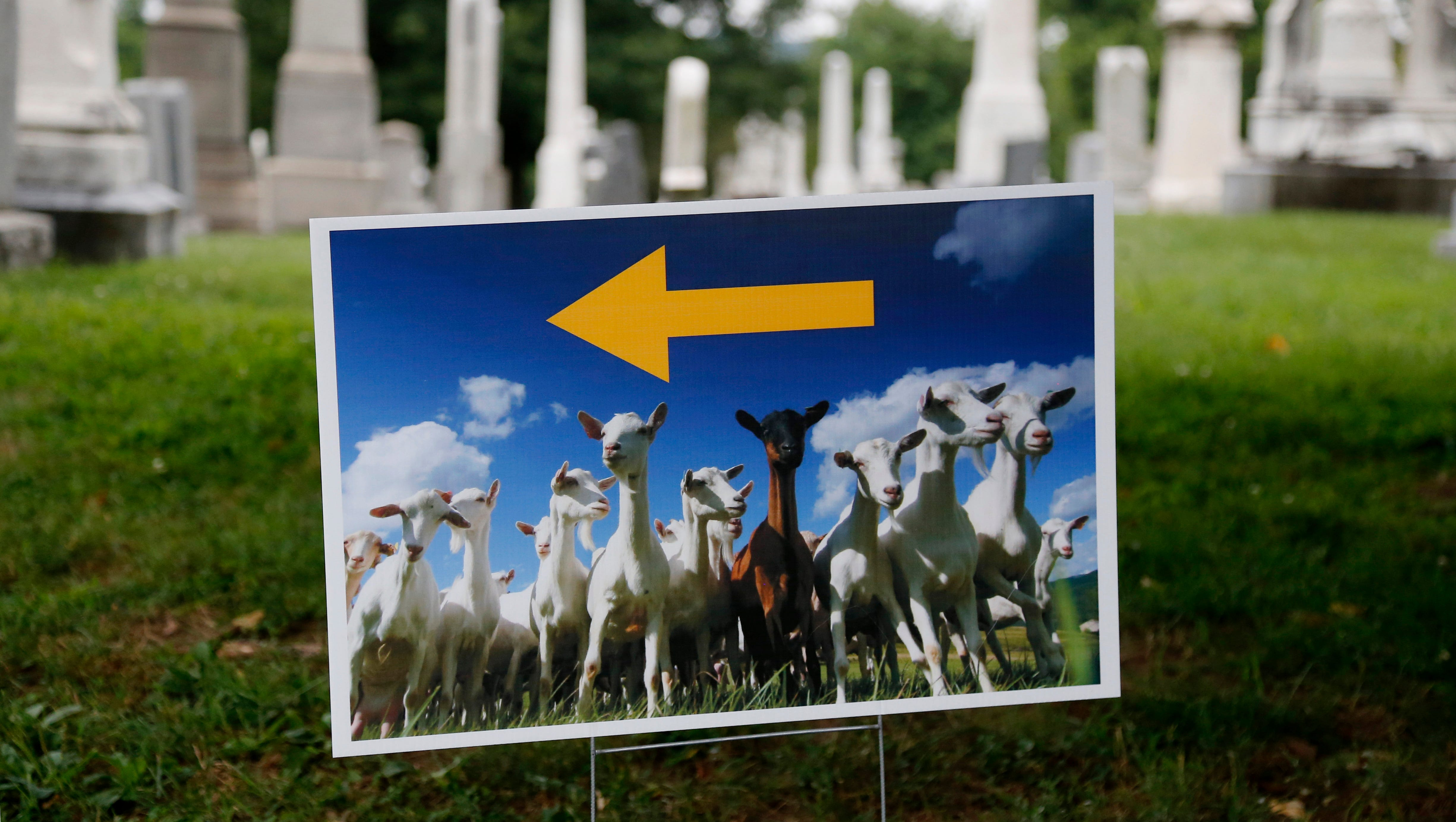 A lawn sign directs reporters to where goats will be released at Congressional Cemetery in Washington on Aug. 7.