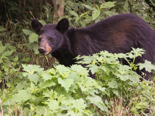 Black bear, July 2012.