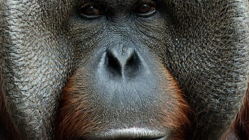 Pumpkin, 2 other orangutans leaving Jackson Zoo