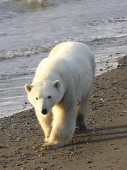 A polar bear walks on Wrangel Island in the Arctic