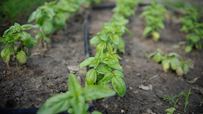 Basil grows Wednesday at <137>is shown sprouting on Monday morning.<137> Baker's Acres. The Avon farm is one of many that sell goods under the community-supported agriculture model.