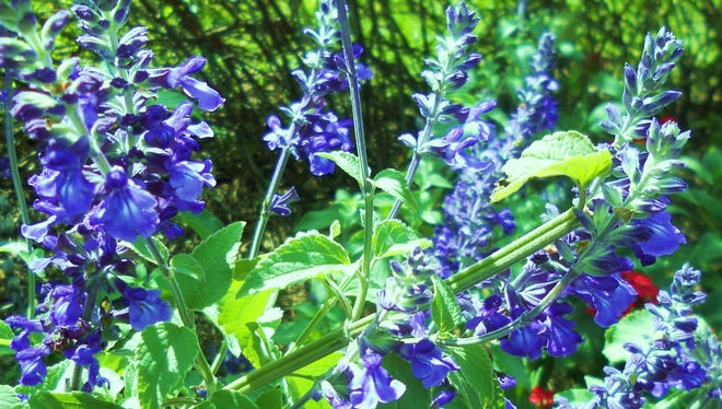 Indigo spires, one of the many kinds of salvia found in Southwest Florida.