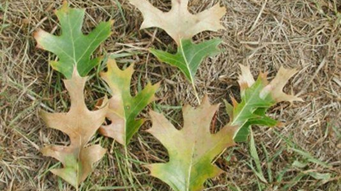 Mich to discuss plans to manage oak wilt on belle isle for 1200 post oak floor plans
