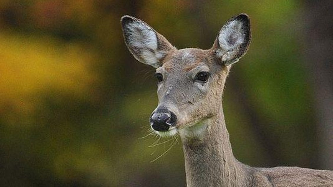 indiana deer vehicle crashes drop still a staggering number
