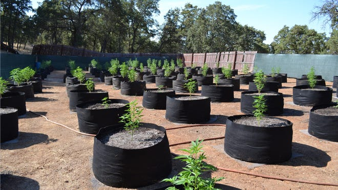 More than 100 marijuana plants were eradicated from an illegal grow site along Goodell Road in the Paloma area of Calaveras County by the Sheriff's Office, one of five sites visited last week by the sheriff's Marijuana Enforcement Unit.