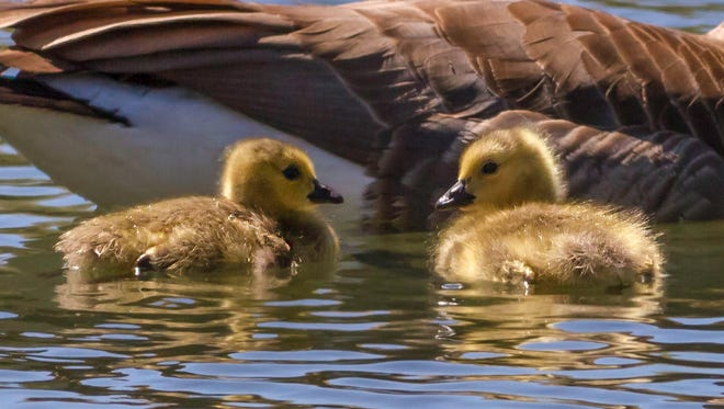 A file photo showing two Canada Goose goslings swimming with their parent.