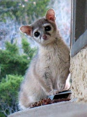 Ringtails are a common sight at night in the Guadalupe