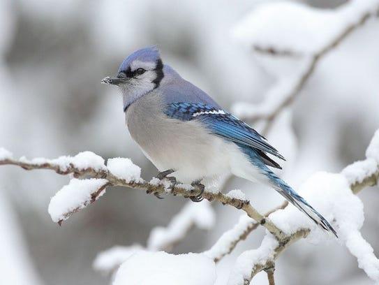A blue jay in winter.