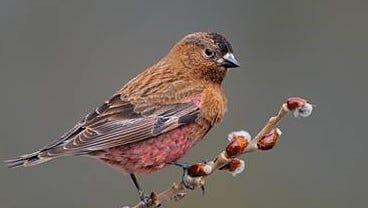 The Brown-Capped Rosy Finch was spotted for the first time at Rawhide Power Plant north of Fort Collins. The bird was counted during the 29th annual Audubon Society Christmas Bird Count Jan. 3