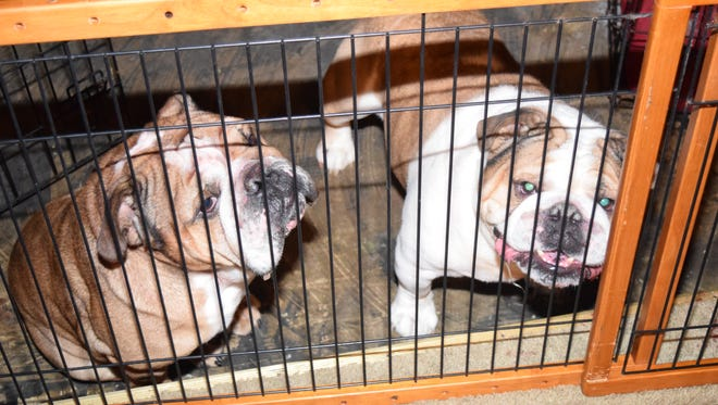 """""""Bull"""" (left) and """"Tomahawk"""" are two English bulldogs suspected of attacking a Brownsburg woman Monday morning."""