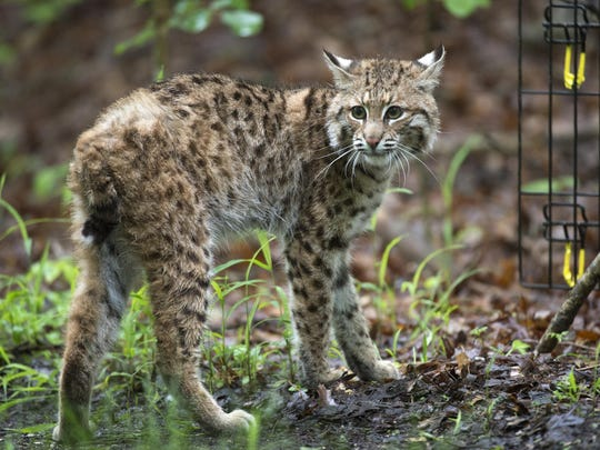 In a Saturday, May 21, 2016, photo, a young bobcat