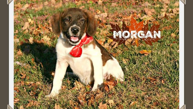 Morgan is a cute and sweet 5 month old hound mix. If the cuteness and sweetness factor isn't enough to draw you in, he's working on being just as smart. Yes, he's away for basic obedience training at the KY State Penitentiary. He'll return right after the first of the year, but don't wait to get your application in, he won't last long. Call Mary Hall Ruddiman to obtain an application to adopt.