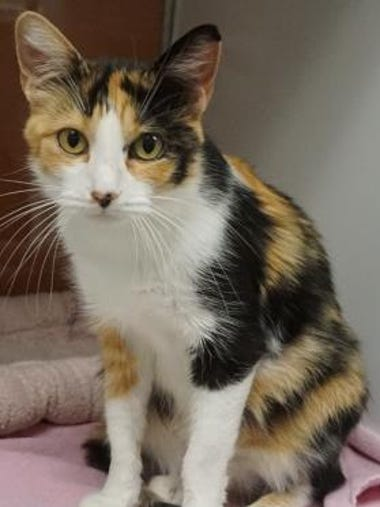 Joyce is a beautiful 2-year-old calico. She is soft