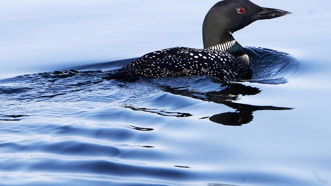 FILE - In this Sunday, April 20, 2014 file photo, a loon swims on Lake Winnipesaukee in Wolfeboro.