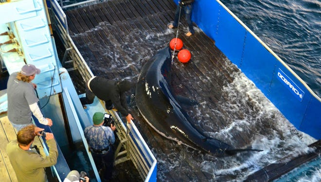 OCEARCH researchers bring Mary Lee the great white shark out of the water to tag her on Sept. 17, 2012 off the coast of Massachusetts' Cape Cod.