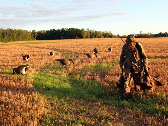 Jerry Solsrud of Oconomowoc carries a pair of Canada geese on a hunt in Mequon, Wis. September 1 marked the opening of the 2016 Wisconsin fall hunting seasons, including the early September Canada goose season. Photo taken Sept. 1, 2016 by Paul A. Smith.