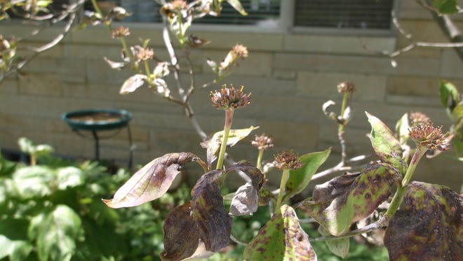 A cold, extremely wet spring is the likely contributor to deadly anthracnose on flowering dogwoods.