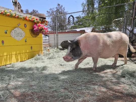 A pot-bellied pig strolls past the florist shop in his enclosure at the Grazin Pig Acres rescue ranch.