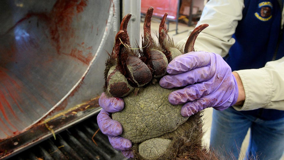 The claws of a 61/2-year-old female grizzly are displayed