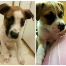 AUG. 29 – Venellope von Schweetz (left) and Wreck it Ralph (right) are 9-week-old boxer/terrier mixes available for adoption through Stray Rescue of St. Louis.