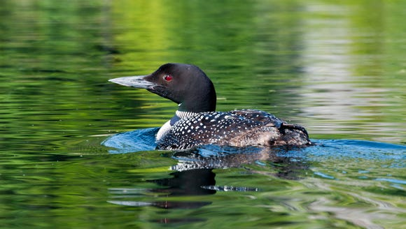 Adirondack loons are among the species that have benefited