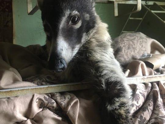 Nana, white-nosed coati, escaped her owner's camper