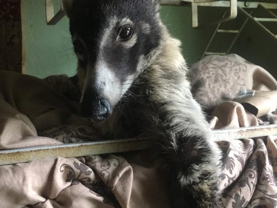 Nana, white-nosed coati, escaped her owner's camper July 3. Jesse Brown found Nana on July 4 and reunited her with owner Sonya Winters at an H-E-B on July 6, 2018.