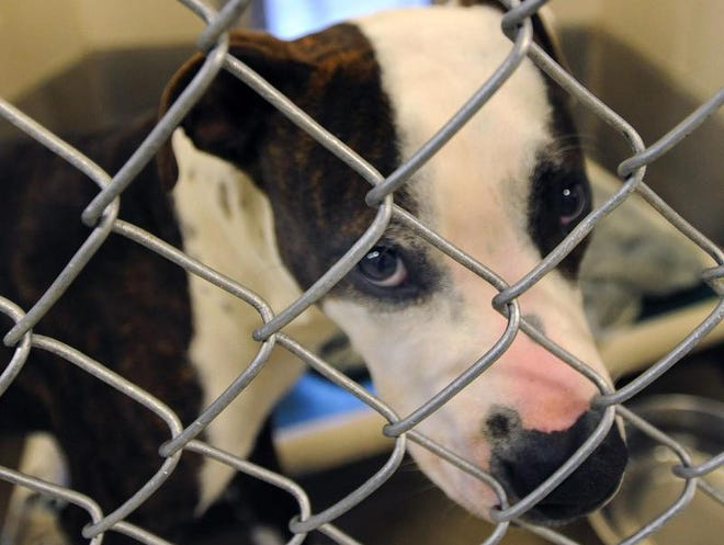 A dog up for adoption last year at the Kent County SPCA in Camden.