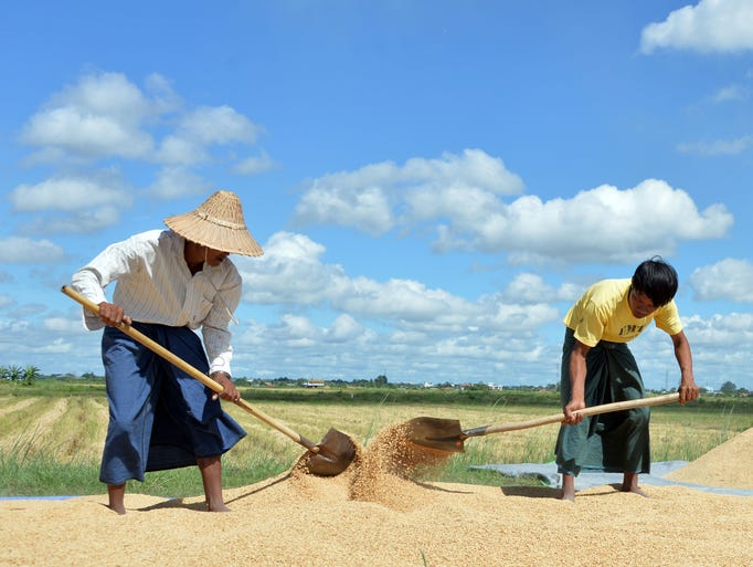Workers spread rice on plastic sheet to dry under the