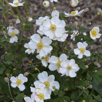 The fall-blooming Japanese anemone 'Honorine Jobert' earns high honors for its beauty in the garden and as a cut flower.