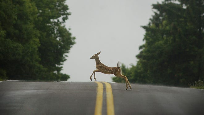 File photo of a young deer bounding across the road near Mendon Ponds Park in Mendon.